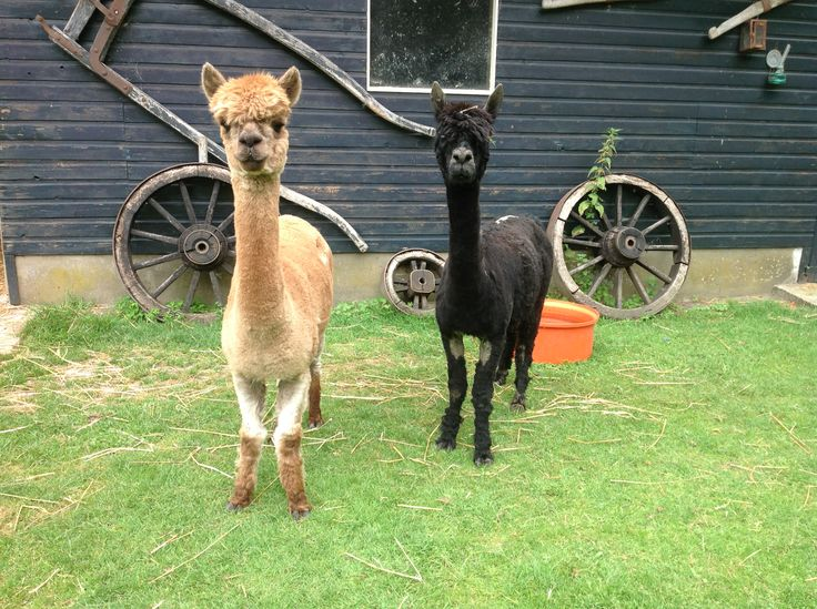 Curious alpaca ladies, cleanly shaven.