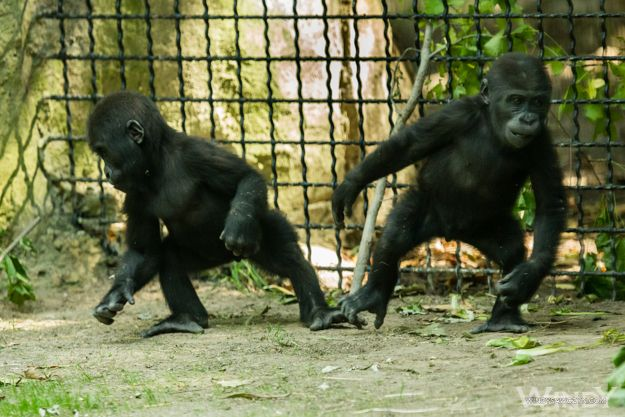 The baby gorilla #brothers are growing up!