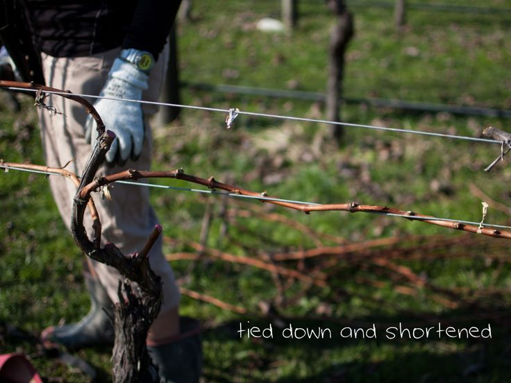 Learn how to prune grapevines like a pro in our easy tutorial on pruning.