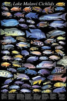 All African Cichlid Species | African Cichlids, Lake Malawi