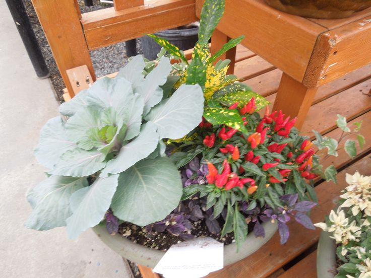 Stauffers has wide selection of cool weather plants for your fall container gardens. Find your favorite Stauffers Garden Center at http://www.skh.com.