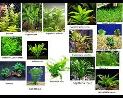 Plantas acuaticas para acuarios de agua dulce buscar con for Nombre de estanque pequeno para tener peces