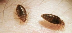 Photo: Harold Harlan - Bed bugs on a person's skin
