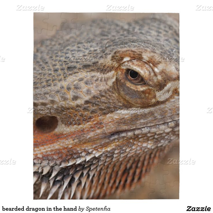bearded dragon in the hand jigsaw puzzles