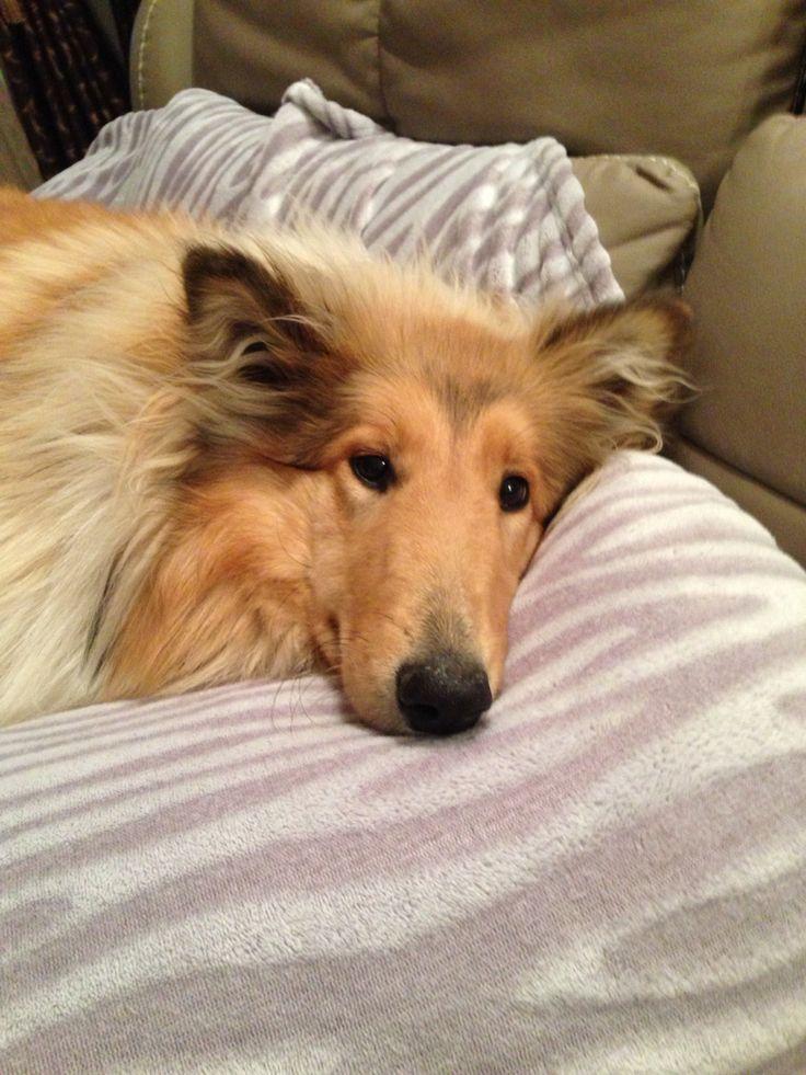 Lassie- beautiful Dog
