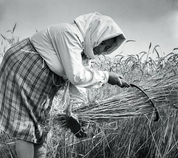 Θερισμός με δρεπάνι στην Λάρισα το 1973.. Στο θερισμό είχαν πρωταγωνιστικό ρόλο οι γυναίκες. Διακρίνεται η ξύλινη παλαμαριά που φορά η γυναίκα στο αριστερό της χέρι. Φωτγράφος Τάκης Τλούπας.
