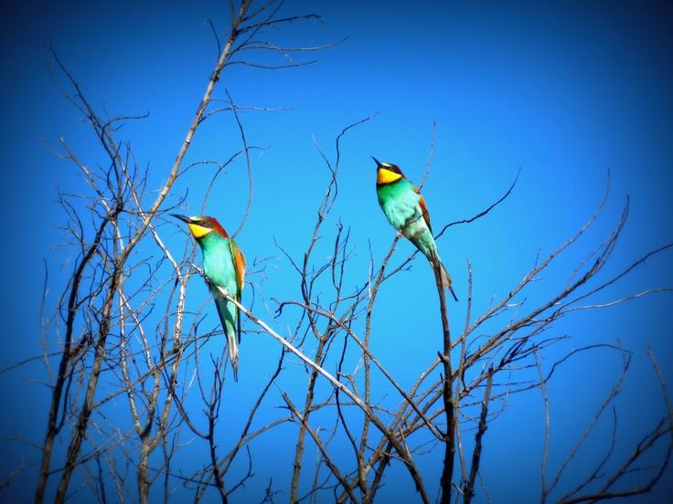 Bee-eaters at Pilanesberg
