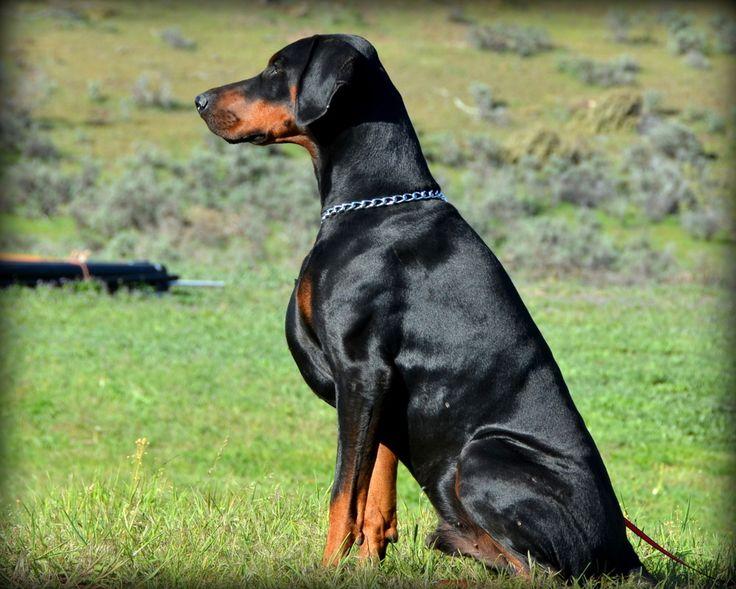 Doberman Protection Dog For Sale Uk