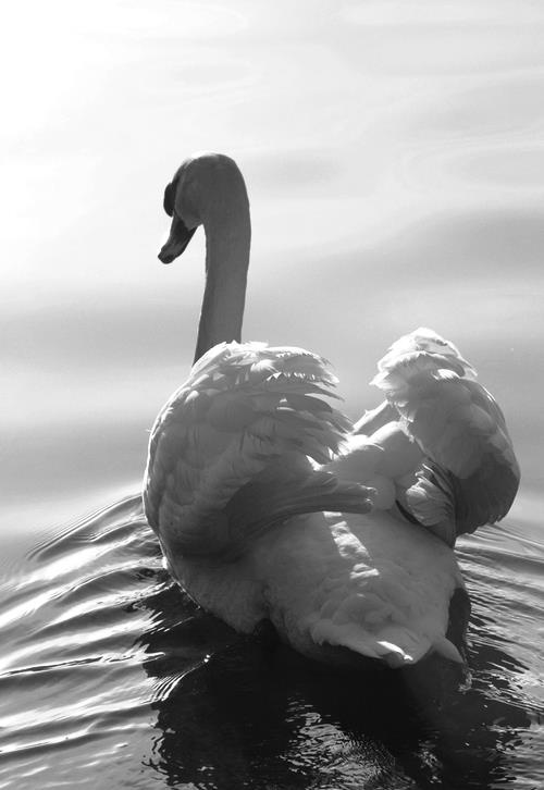 swan, black & white photograph