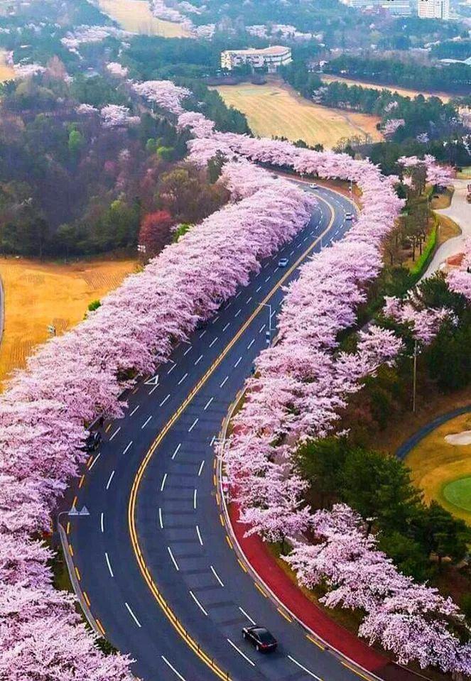 Sakura (Cherry Blossom) Road ~ Yamanashi, Japan