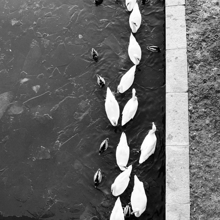 #cracow #swan #cityphotography