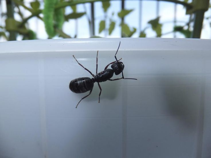 How to Get Rid of Large Black Ants in the House