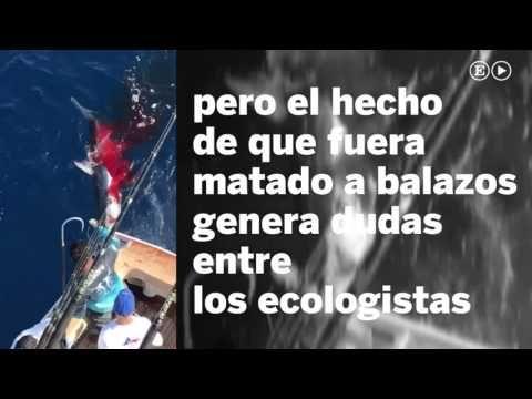 Pescan y matan a balazos a un tiburón tigre en Veracruz - YouTube