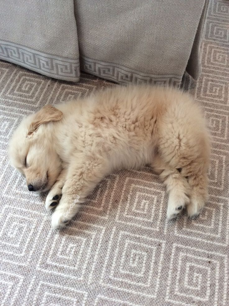 essay golden retriever T3 - golden retriever/phlegmatic personality type even if you are an off-the-chart lion or otter, golden retriever might be one of your secondary types, so read on to see what you might can learn about that part of yourself please remember, these are generalities.