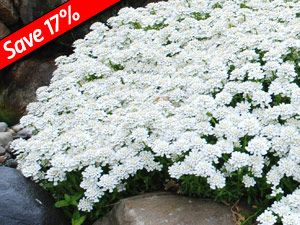 133 best ground cover images on pinterest gardening landscaping iberis taho is a fast growing evergreen groundcover mightylinksfo