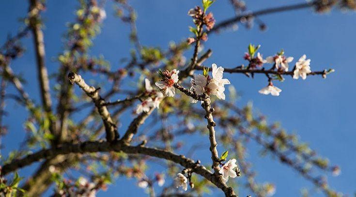 Mallorca im Frühjahr? Ja! Komm mit mir nach Santanyi & an die Cala Figuera. So habe ich die Insel noch nie gesehen! Saftig grün erstrahlt Mallorca, die Mandelblüte liegt in ihren letzten Zügen und die Kirschblüte zaubert zartrosa Tupfer in die Landschaft. An jeder Ecke verströmen Kräuter und Bäume ihren würzig und süßen Duft. Es ist Anfang März