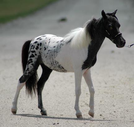 Pintaloosa pony