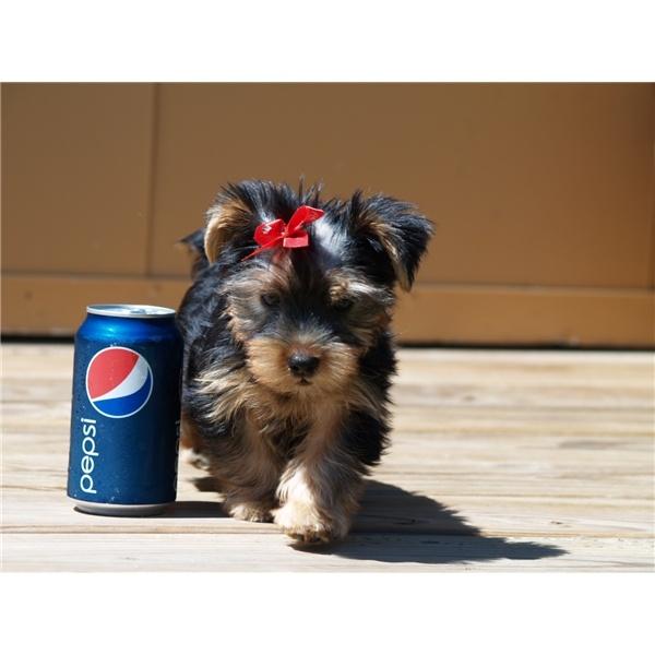Teddy Bear Tiny Teacup Yorkie Puppies For adoption