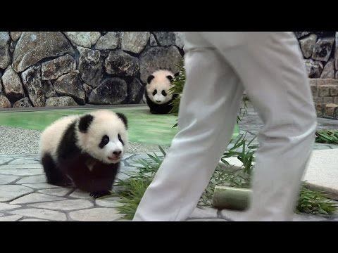 Man Approaches These Adorable Baby Pandas. Watch What The Little One In Front Does...