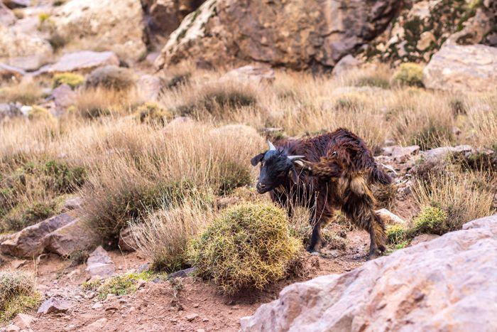 A goat. Atlas mountains, Morocco.  Kotona ja kaukomailla: marokko