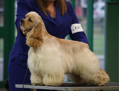 champion American Cocker Spaniel | American Cocker Spaniel Club of Great Britain Championship Show