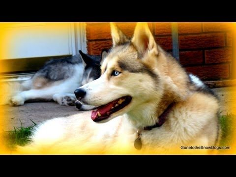 How to Build Guide Wires for Agilty Weave Poles - Build your Own Equipment - Siberian Husky