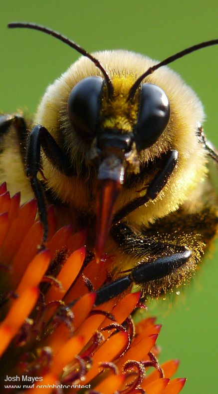 Learn more about the native bumble bees and how to help them.