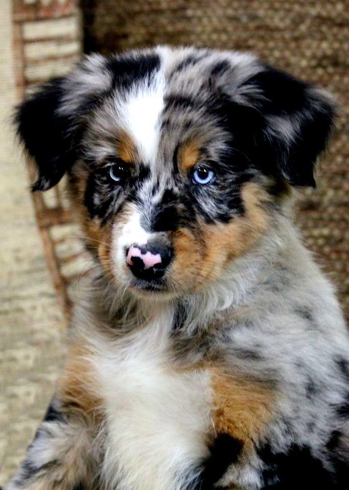 Australian shepherd sooo #cute