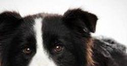 La tos de las perreras | Cuidar de tu perro es facilisimo.com