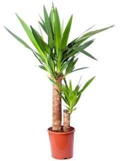 Juka (Yucca) vyniká v každém bytě hlavně jako solitéra. Jedná se o nenáročnou teplomilnou rostlinu, která má ráda sluníčko i polostín. V létě bude prospívat i na terase či balkoně. Vyzkoušejte s námi její pěstování i rozmnožování.