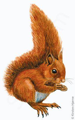 Egern - Sciurus vulgaris - Red squirrel