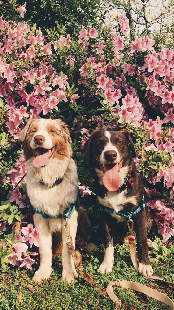 Pin By Tiffany Westbrook On Australian Shepherds Cute Dogs