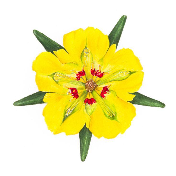 Flores Nativas de Chile