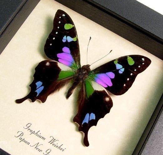 Mejor vendedor mariposa Swallowtail mancha por REALBUTTERFLYGIFTS