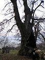 Lugrin - Wikipédia le vieux châtaignier