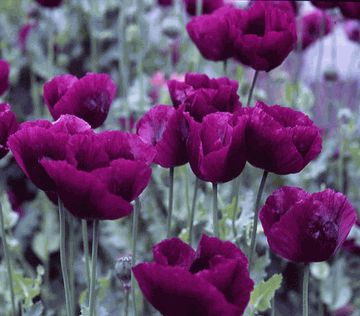 Dianna's Purple Poppies