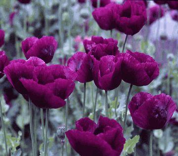 Dianna's Purple Poppies