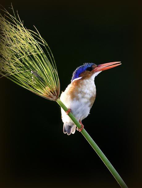 Birding Safaris www.lederlesafaris.com