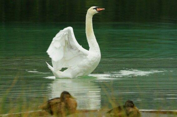 ...cigno bianco...