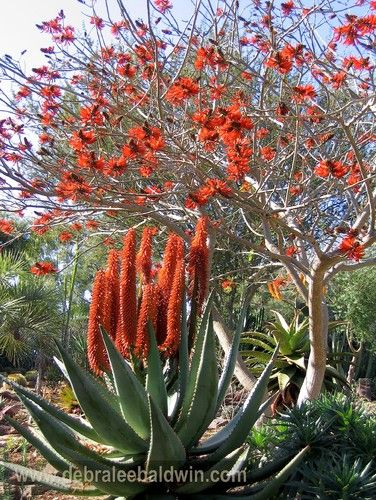 Aloe ferox and a coral tree in bloom - fiery red succulent flowers