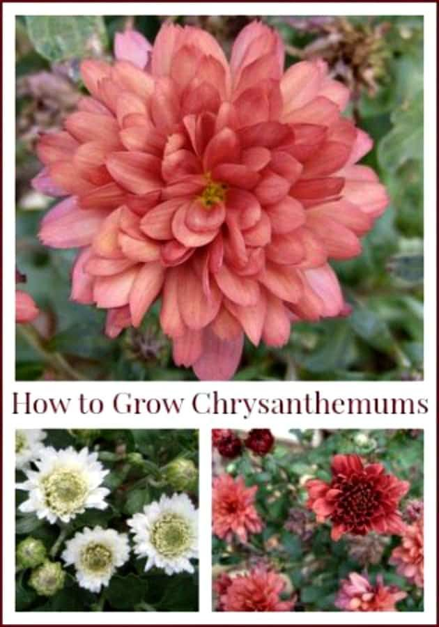 Chrysanthemums Are Hardy Perennials And Will Return Each Year If