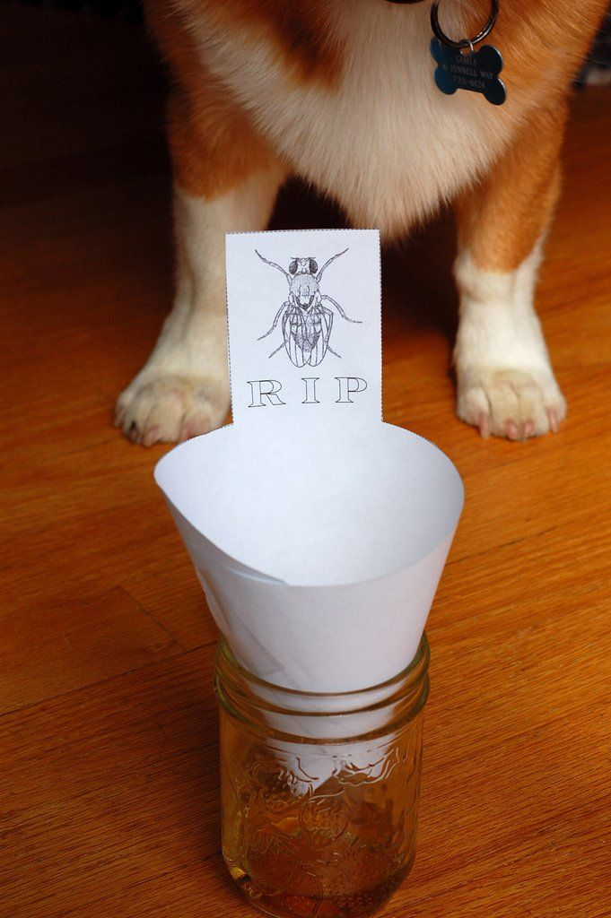 With fresh fruit sitting out on the counter, fruit flies can be a real menace in the spring. Ttry our best all-natural DIY fruit fly trap to rid your home.