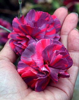 Dianthus caryophyllus 'Chomley Farran' -- wonder how this is as a cut flower?