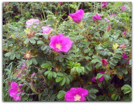 Rosa-rugosa, Roseira-rugosa  Origem: Ásia, China, Coréia do Norte, Coréia do Sul, Japão, Sibéria  http://sergiozeiger.tumblr.com/post/114838438288/rosa-rugosa-roseira-rugosa-origem-asia-china  A rosa-rugosa é uma planta arbustiva, decídua e muito florífera, que encanta por sua rusticidade e beleza. Apresenta caules múltiplos, que brotam a partir das raízes, e ramagem muito densa, tomentosa e espinhenta. As folhas são a princípio verde-escuras, as folhas passam ao amarelo antes de cair, com o…