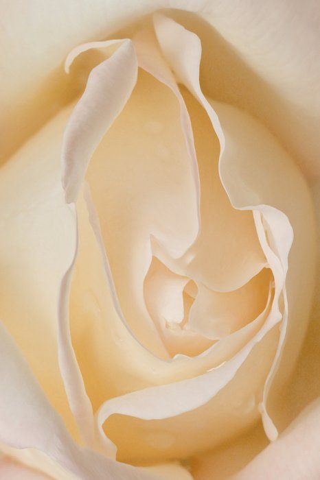 Rose Study by  Dorothy Freudenberg