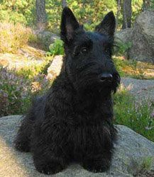 Scottish Terrier-reminds me of Divit!