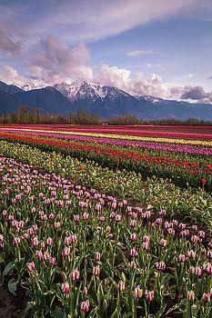 Art Calapatia - Rows of Tulips 2
