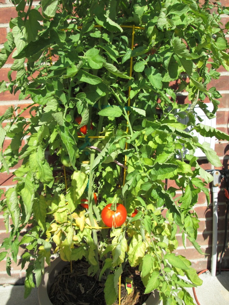 17 Best Images About Container Tomatoes On Pinterest 400 x 300