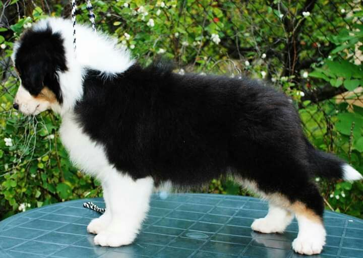 Australian Shepherd Black Tri With Tail Australian Shepherd