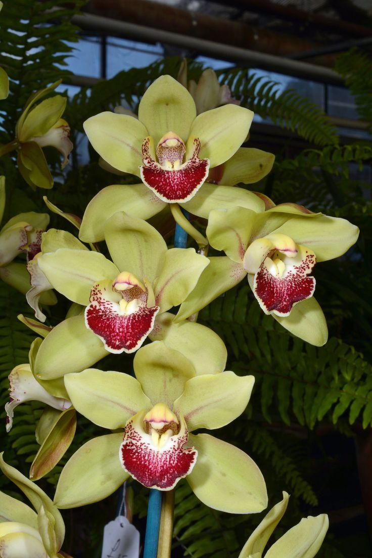 Orchid Hybrid: Cymbidium 'Sue Green'
